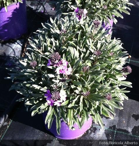 Gli steli sfioriti fertilizzare in primavera ed estate con concime