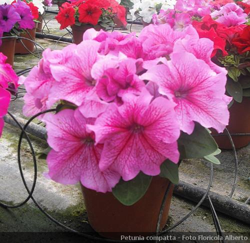 Petunia pianta da appartamento e da balcone for Petunie inverno