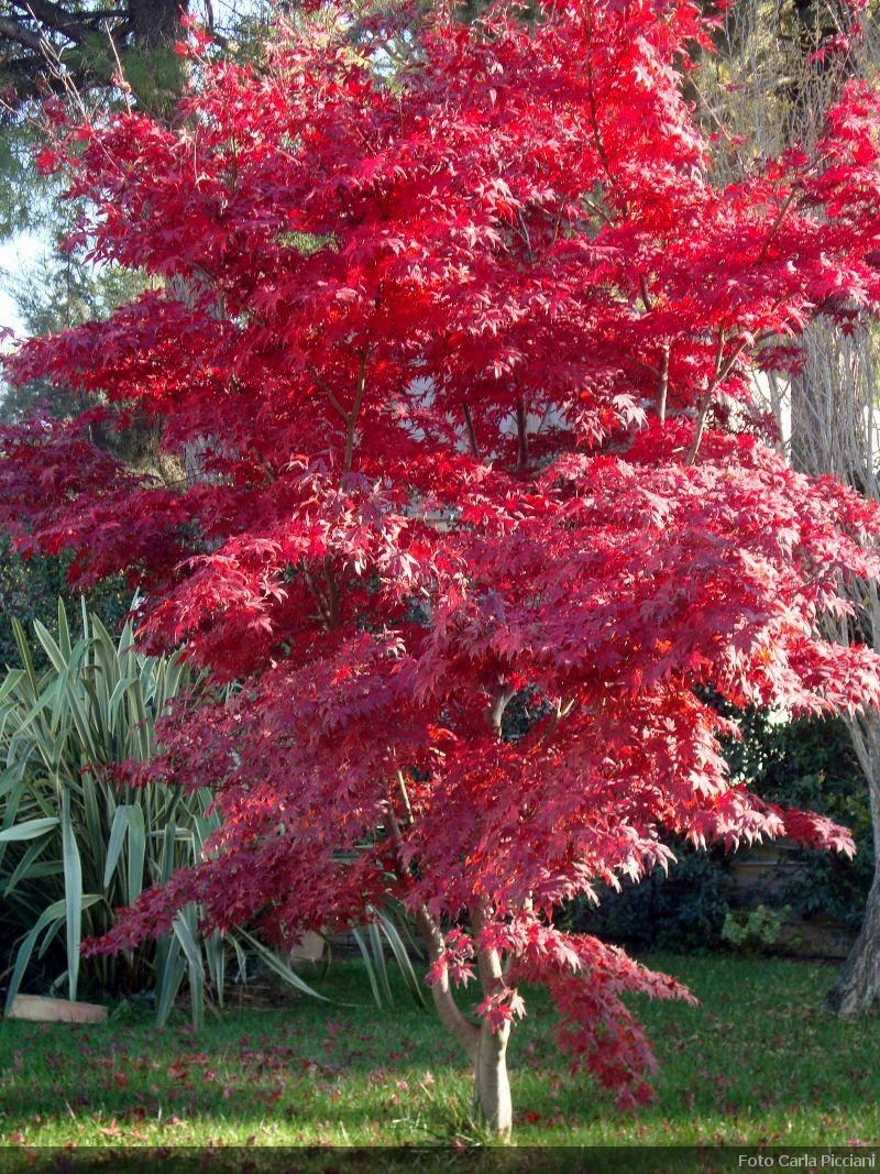 Perchè Acero Rosso Diventa Verde acer palmatum, descrizione, coltivazione e vendita