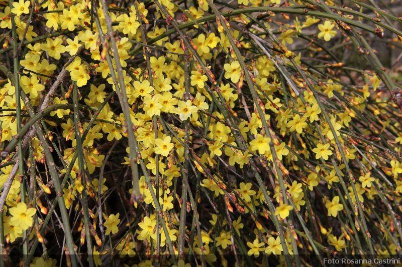 Piante Rampicanti Sempreverdi Con Fiori : Jasminum nudiflorum o gelsomino di san giuseppe piante