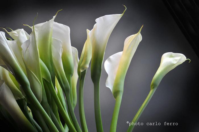 Zantedeschia o calla piante da appartamento for Calla pianta