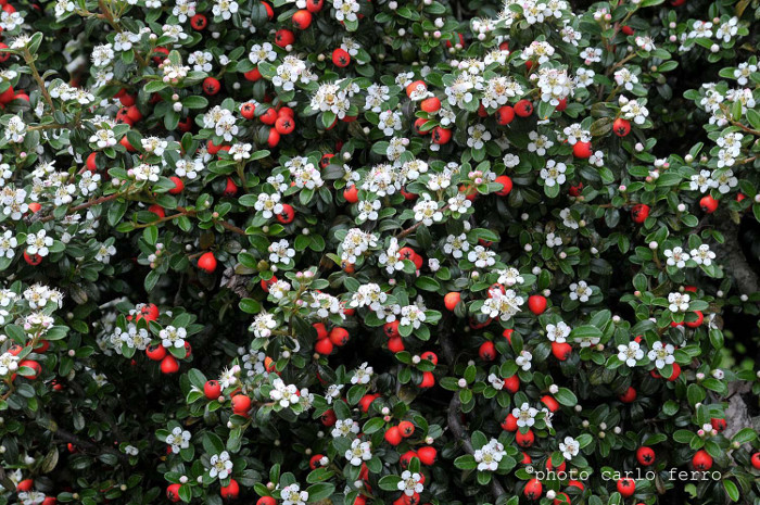 Piante da siepe cotoneaster franchetii e cotoneaster lacteus for Piante da siepe