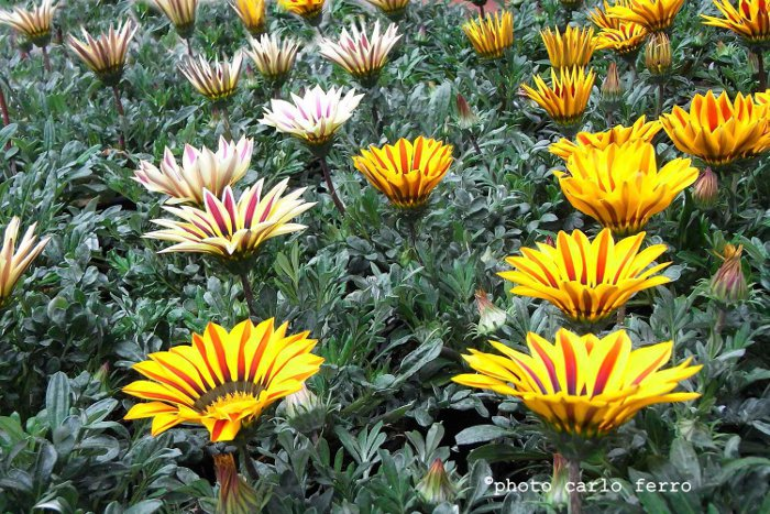 Gazania piante erbacee asteraceae for Potatura margherite