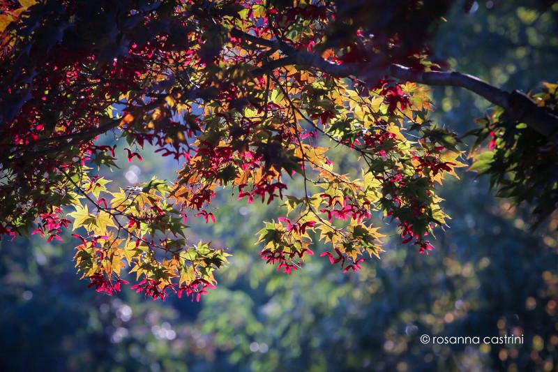Vivaio Acero Rosso : Acer palmatum descrizione coltivazione e vendita