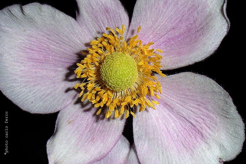Anemone piante erbacee della famiglia delle ranunculaceae for Anemone giapponese