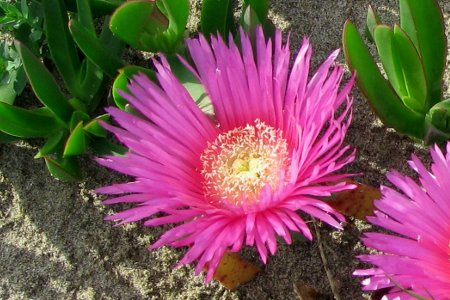 Carpobrotus piante grasse aizoaceae for Piante grasse pendenti