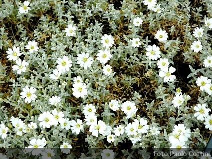 Fiori Bianchi Tappezzanti.Cerastium Erbacee Tappezzanti Caryophyllaceae