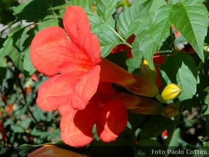 Campsis bignonia piante rampicanti bignoniaceae for Piante da frutto che resistono al freddo