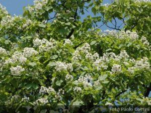 Alberi archivi for Alberi fioriti da giardino