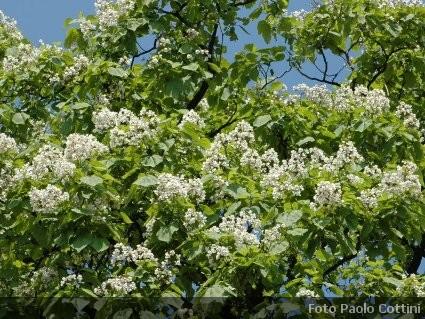Catalpa alberi della famiglia delle bignoniaceae for Elenco alberi da frutto