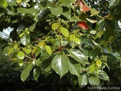 Cinnamomum cinnamomo alberi della famiglia delle lauraceae - Nomi di piante da giardino ...