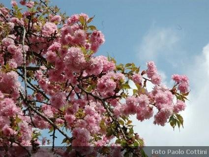 Prunus ciliegio da fiore alberi della famiglia delle for Alberi da giardino con fiori