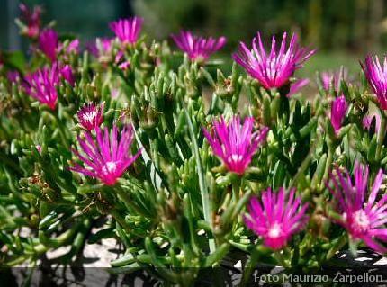 Delosperma erbacee perenni aizoaceae for Fiori estivi perenni