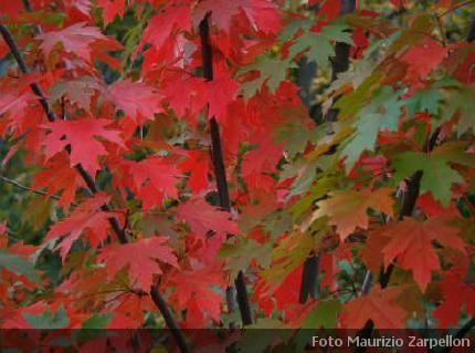 Vivaio Acero Rosso : Acer acero alberi della famiglia delle sapindaceae