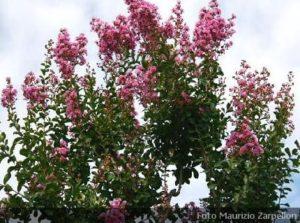 Acer acero alberi della famiglia delle sapindaceae - Piante ornamentali da giardino ...
