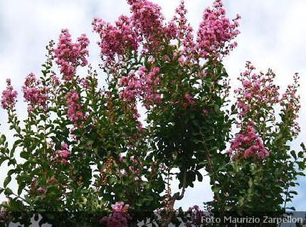 Lagerstroemia alberi della famiglia delle lythraceae for Arbusti ad alberello