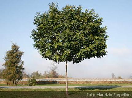 Robinia alberi della famiglia delle papilionaceae - Foto di alberi da giardino ...