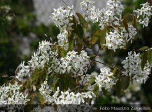 Arbusti archivi for Arbusti profumati da giardino