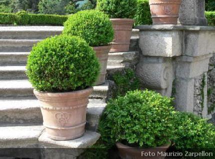 Buxus bosso arbusti della famiglia delle buxaceae - Alberi da giardino di piccole dimensioni ...