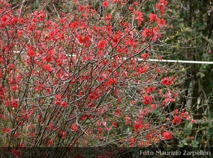 Chaenomeles cydonia arbusti della famiglia delle rosaceae for Arbusto dai fiori rosa e bianchi