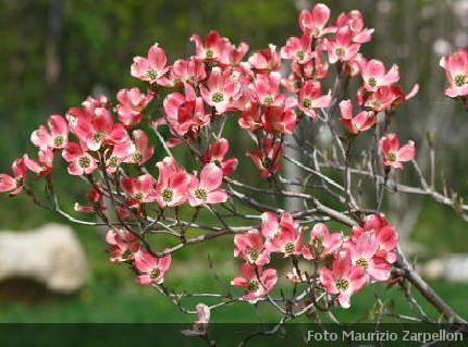 Cornus arbusti della famiglia delle cornaceae for Cespugli fioriti da giardino