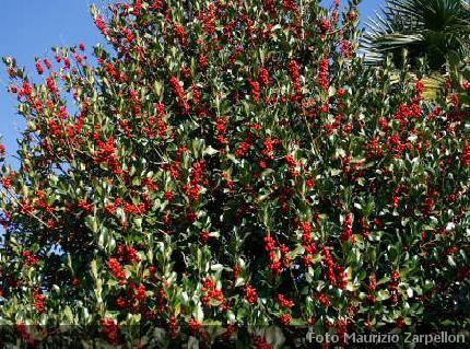 Ilex agrifoglio siepi aquifoliaceae for Piante da cespuglio