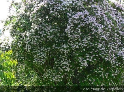 Kolkwitzia arbusti della famiglia delle caprifoliaceae for Cespugli fioriti da giardino
