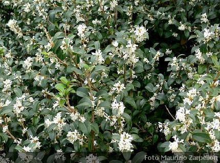Osmanthus osmanto arbusti della famiglia delle oleaceae - Osmanthus siepe ...