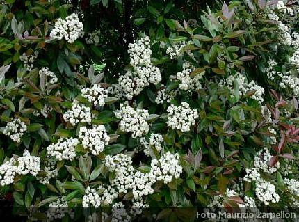 Photinia fotinia arbusti della famiglia delle rosaceae for Cespugli fioriti perenni da giardino