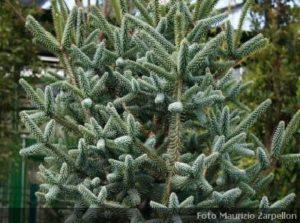 Conifere archivi for Conifere da giardino