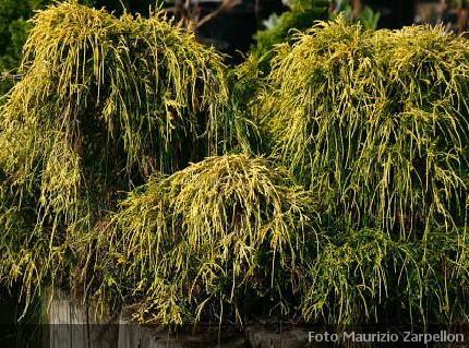 Chamaecyparis siepi cupressaceae for Conifere da giardino