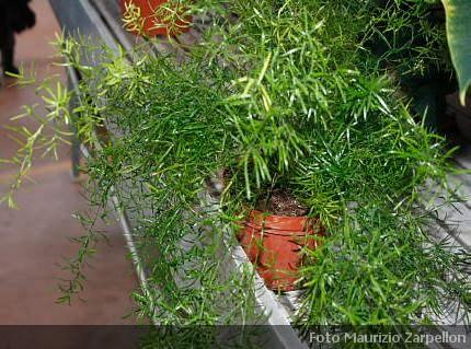 Asparagus asparagina pianta da appartamento della - Piante grasse da interno poca luce ...