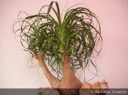 Beaucarnea pianta da appartamento agavaceae for Piante da interno alte
