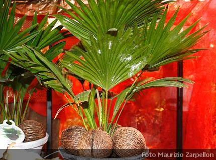 Cocos cocco pianta da appartamento della famiglia delle for Pianta di cocco