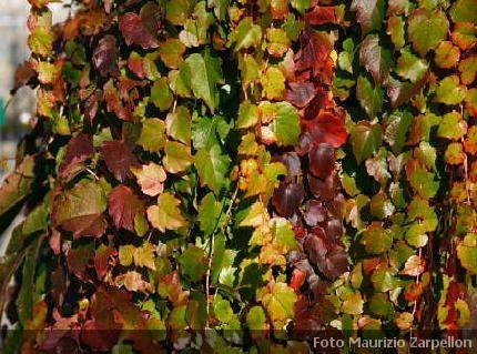 Parthenocissus pianta rampicante delle vitaceae - Piante per coprire muri ...