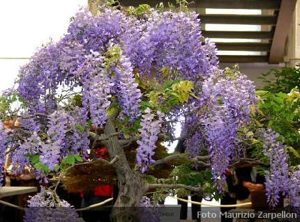 Wisteria glicine piante rampicanti papilionaceae for Piante rampicanti resistenti al freddo
