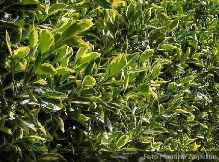 Euonymus evonimo piante da siepe della famiglia delle celastraceae - Siepe in vaso terrazzo ...