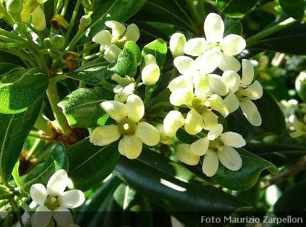Siepi Da Giardino Finte : Pittosporum tobira siepi pittosporaceae
