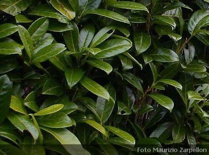 Prunus laurocerasus i classici prunus da siepe - Nomi di piante da giardino ...