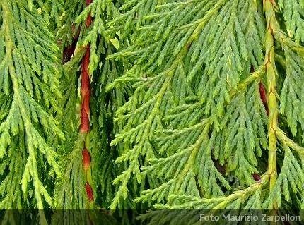 Siepi Da Giardino Prezzi : Cupressocyparis leylandii pianta da siepe della famiglia delle
