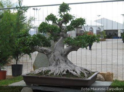 Bonsai ficus caratteristiche coltivazione cura e dove for Bonsai da frutto vendita
