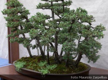 bonsai ginepro caratteristiche coltivazione cura e dove
