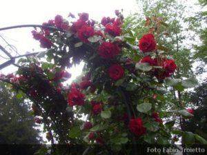 Piante rampicanti archivi for Cespugli sempreverdi fioriti