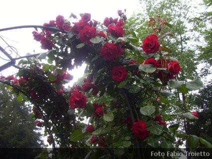 Rose rampicanti climber e rambler caratteristiche coltivazione dove comprarle - Rose coltivazione in giardino ...