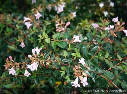 Abelia x grandiflora descrizione coltivazione e vendita for Cespugli fioriti da giardino
