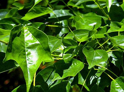 Vivaio Acero Rosso : Acer buergerianum descrizione coltivazione e vendita