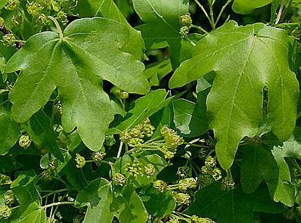 Vivaio Acero Rosso : Acero piantumazione coltivazione manutenzione potatura dell