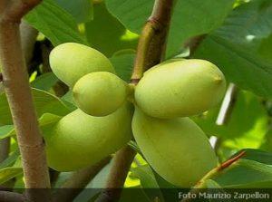 Alberi da frutto archivi for Elenco alberi da frutto