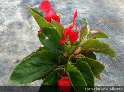 Piante Da Appartamento Begonia.Begonia Dragon Wing Red Piante Da Appartamento