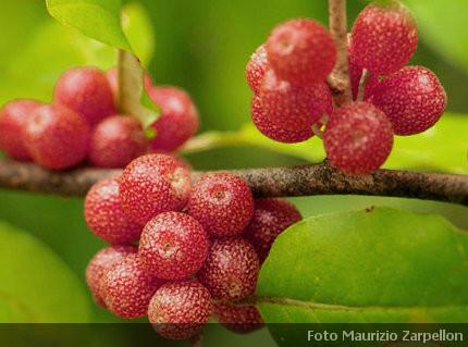 Elaeagnus umbellata piante da frutto elaeagnaceae - Rampicanti a crescita rapida ...